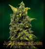 Barneys Farm Blue Cheese Feminized 5 Ganja Seeds